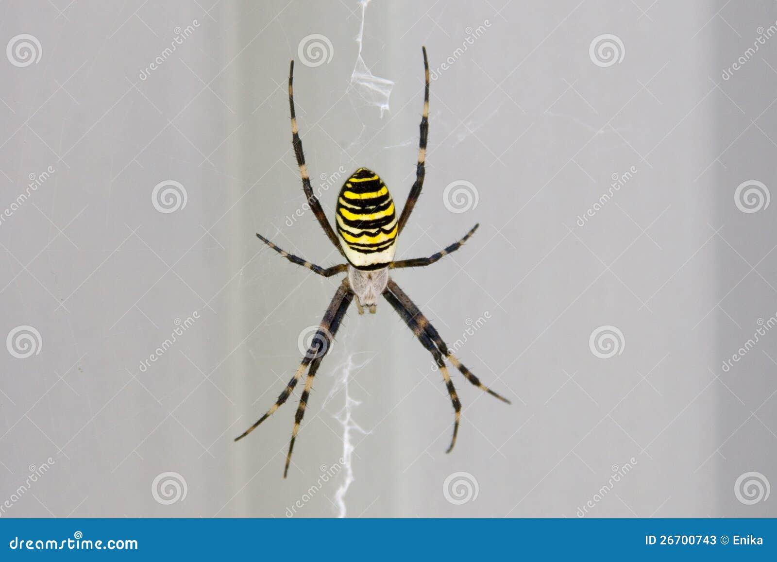 gelbe spinne stockfotos bild 26700743. Black Bedroom Furniture Sets. Home Design Ideas