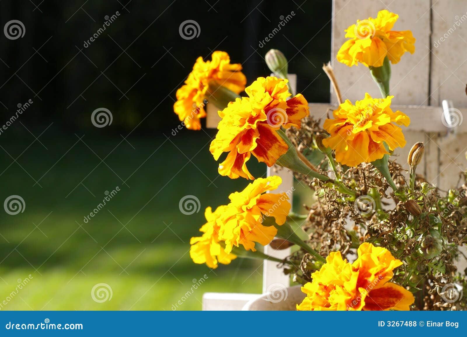 Gelbe Tagetes Blumen