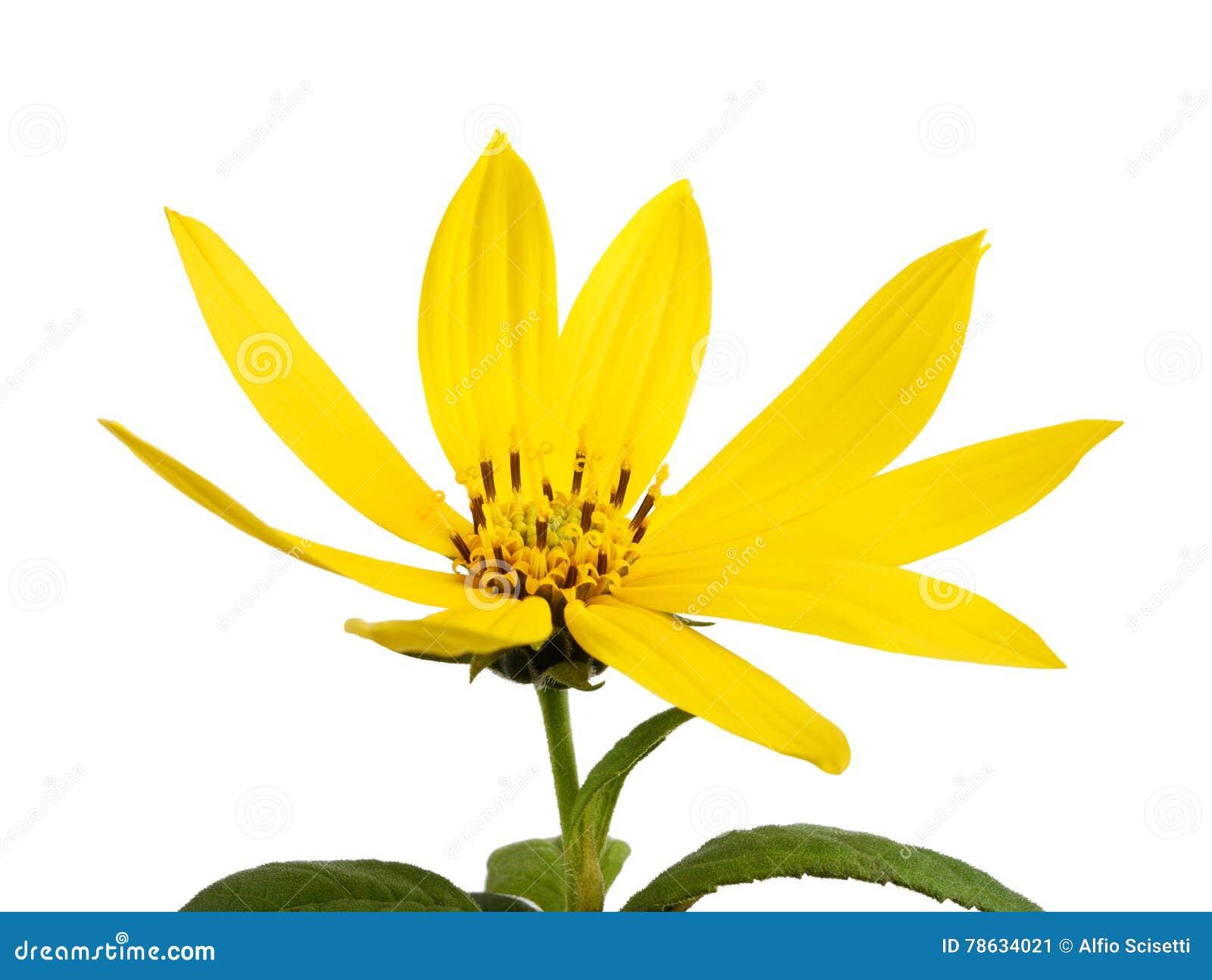 Gelbe topinambur Blumen