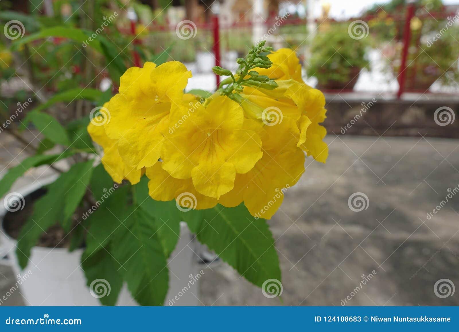 Gelbe trumpetbush Blume oder Tecoma-stans