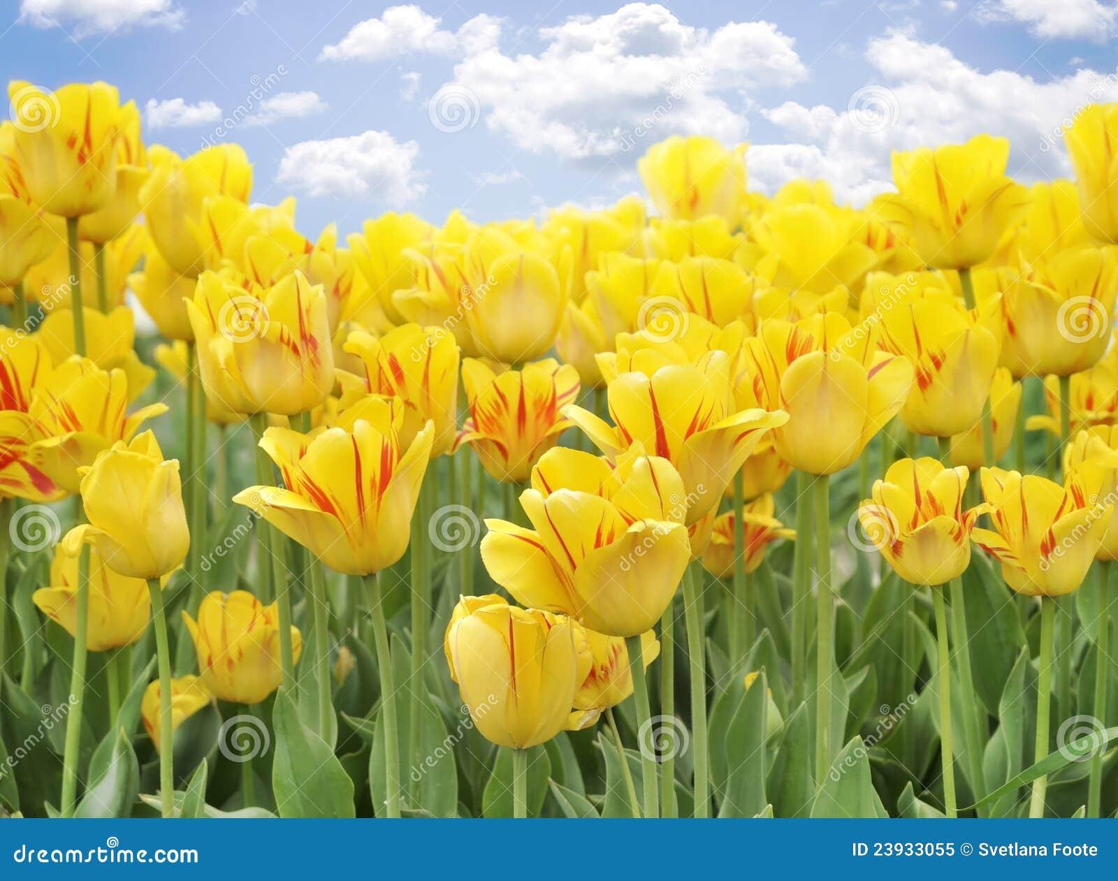 gelbe tulpen stockbild bild von gelb gr n betrieb 23933055. Black Bedroom Furniture Sets. Home Design Ideas