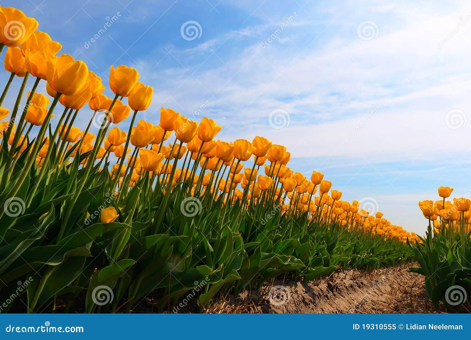 Gelbe Tulpen im bulbfield