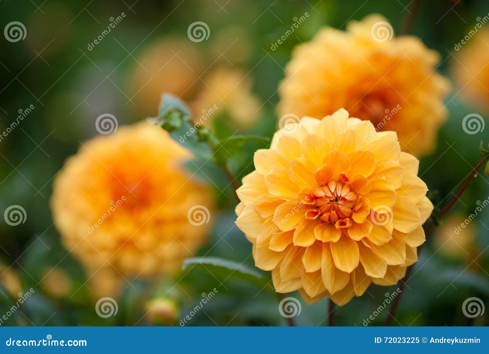 gelbe und orange blumen der dahlie im garten stockfoto bild 72023225. Black Bedroom Furniture Sets. Home Design Ideas