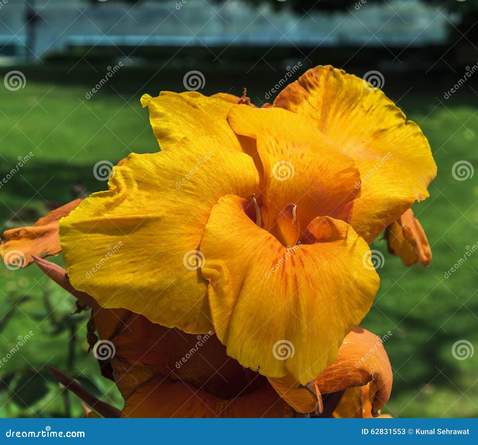 gelbe und orange canna blume im garten stockbild bild von blatt frische 62831553. Black Bedroom Furniture Sets. Home Design Ideas