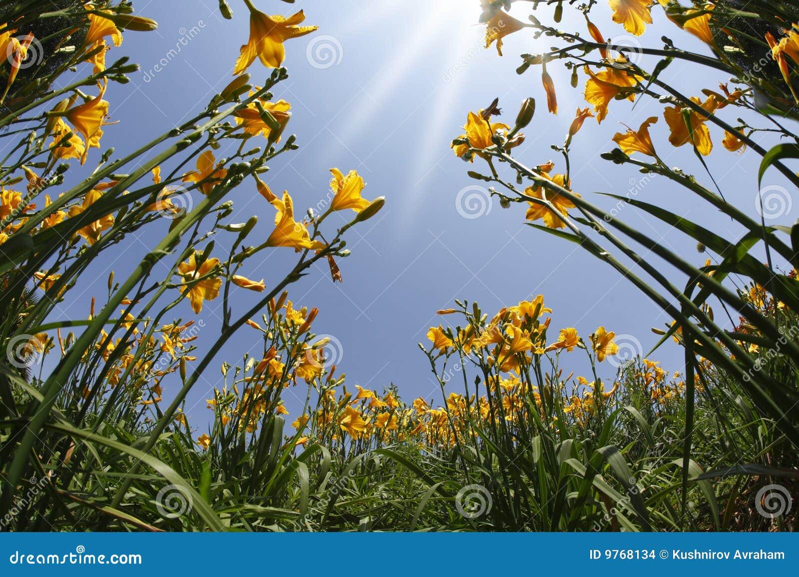 Gelbe und orange Lilien des Gartens im Früjahr
