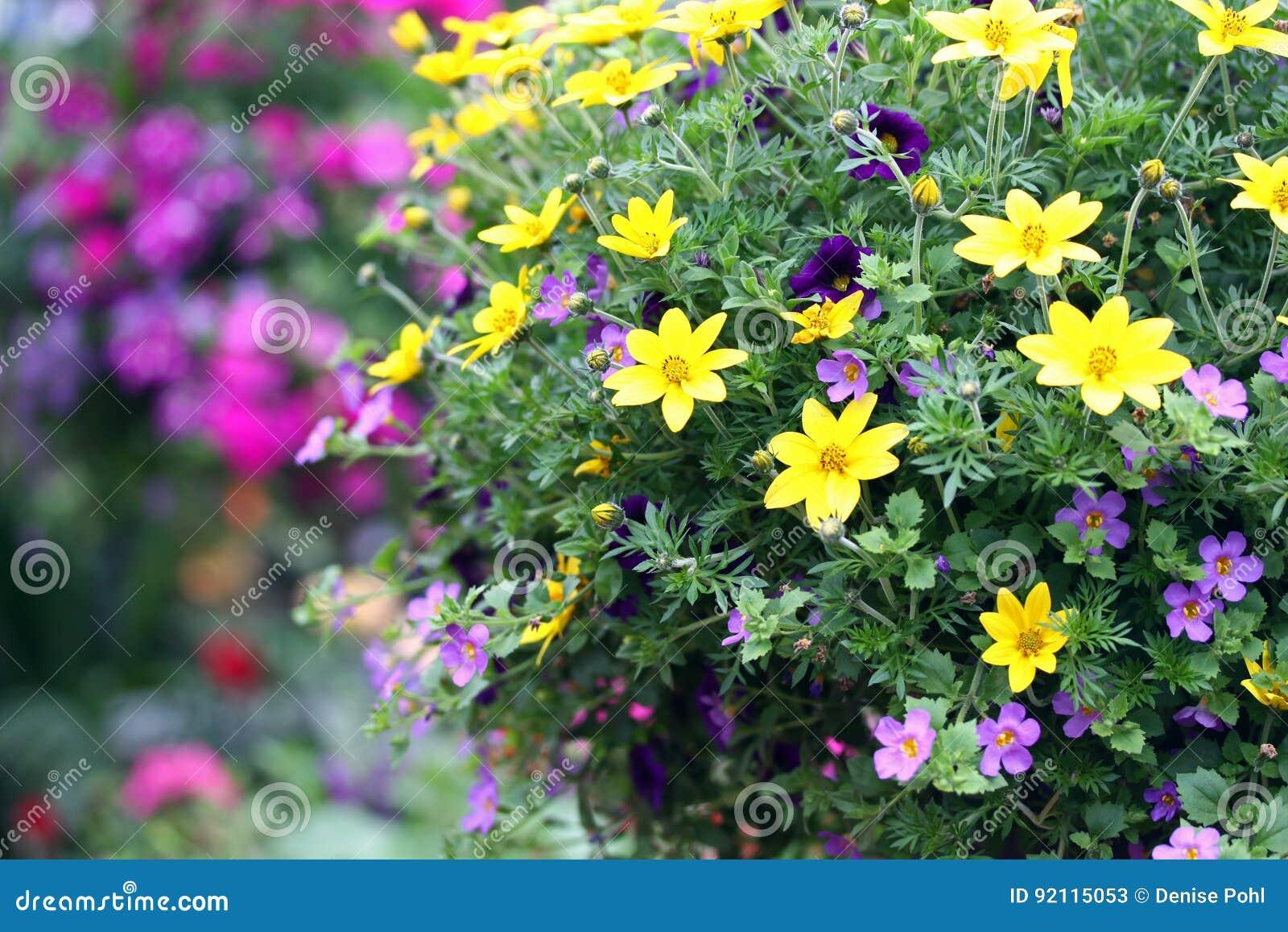 Gelbe Und Purpurrote Blumen Im Freien Stockbild Bild Von Betrieb