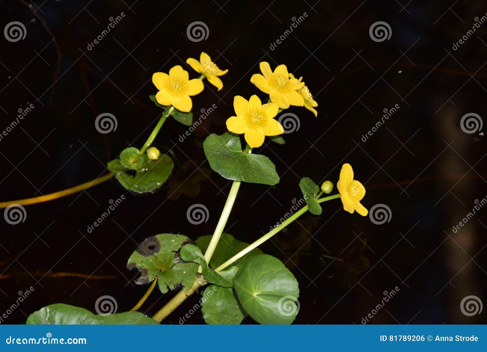 Gelbe Wasserblumen stockfoto. Bild von blätter, blume - 81789206