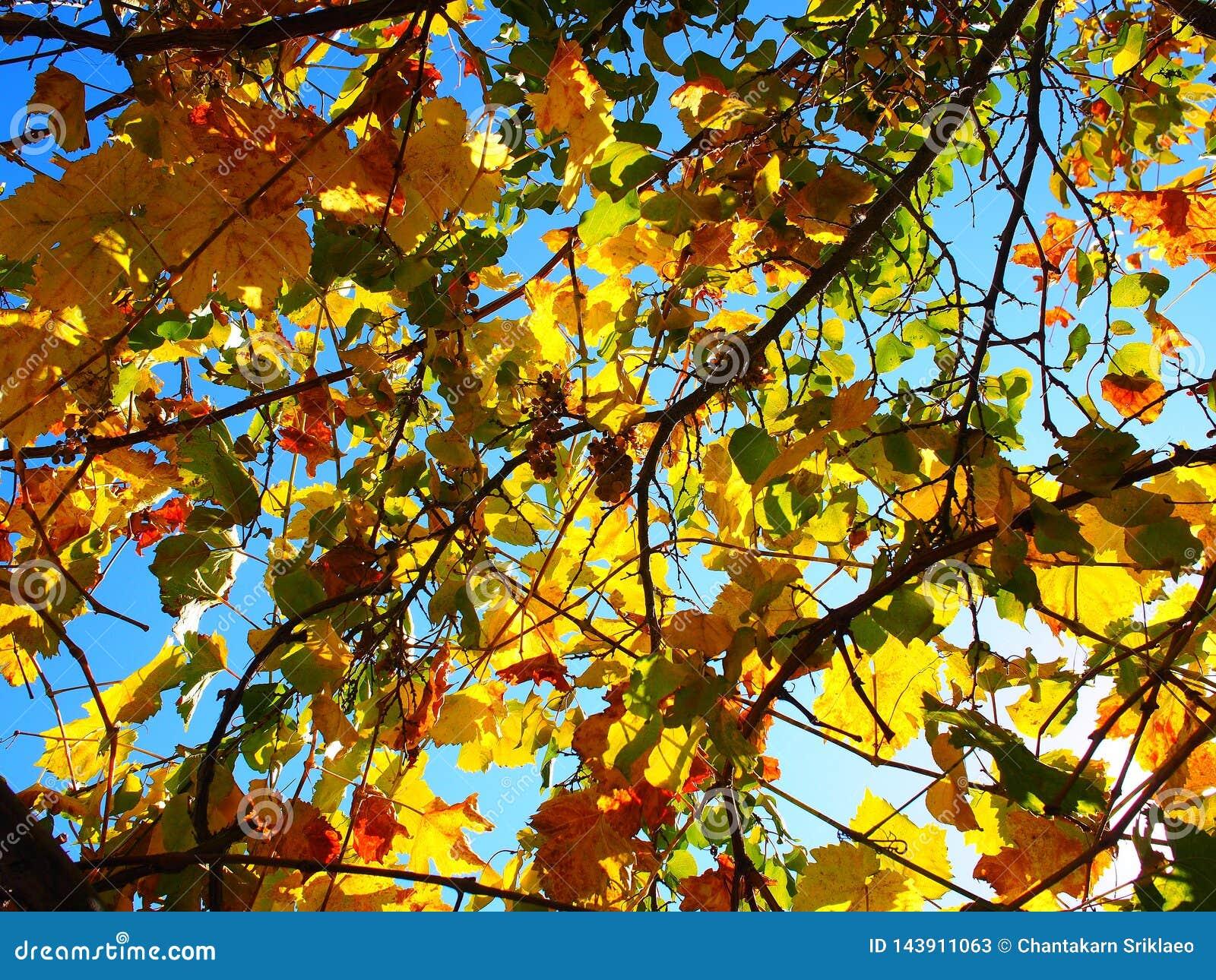 Gelbe Weinreben mit blauem Himmel