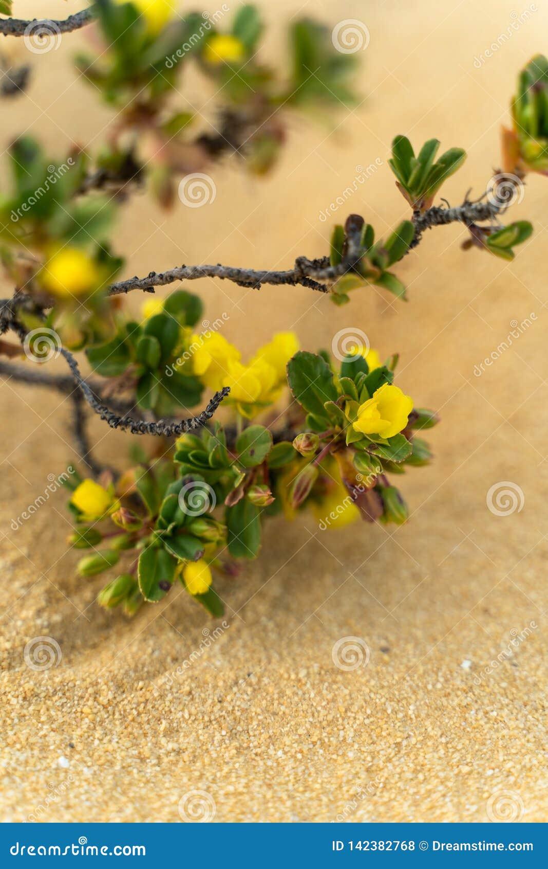 Gelber geblühter Busch, der in der Wüste - West-Australien wächst