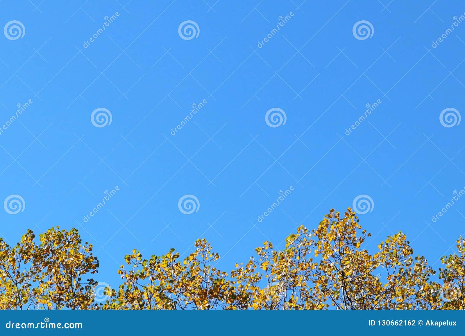 Gelber Herbstlaub auf den Niederlassungen eines Baums gegen den blauen Himmel Copispeses für die Aufschrift Grußkarte mit Natur
