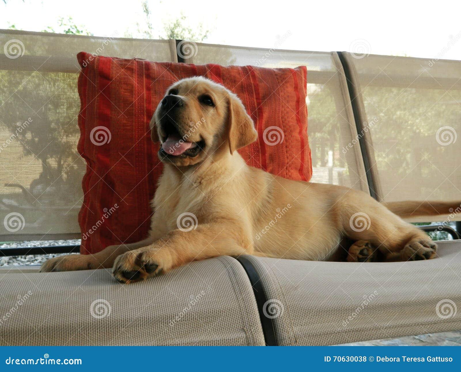 Gelber Labrador Apportierhund Welpe Stockfoto Bild Von Hundehütte