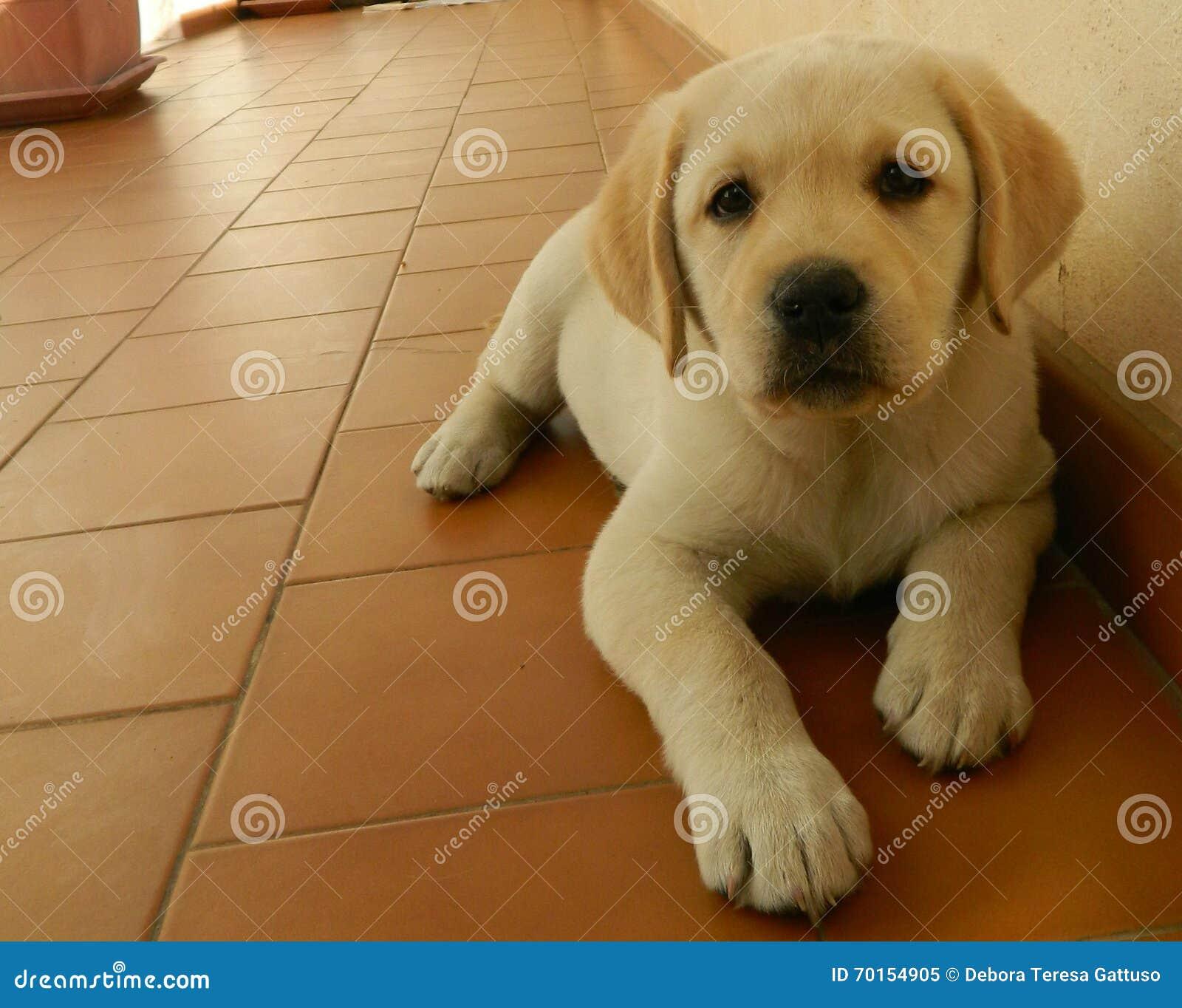 Gelber Labrador Welpe Stockbild Bild Von D0 Garten 70154905