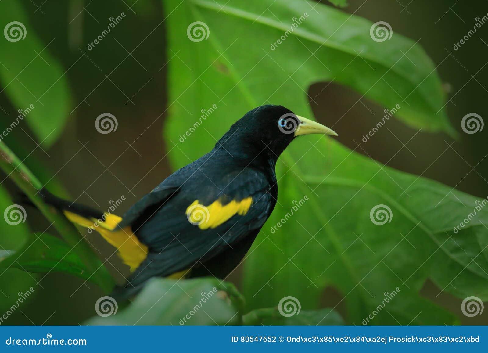 gelber rumped cacique cacicus cela im naturlebensraum schwarzer vogel mit gelben fl geln in. Black Bedroom Furniture Sets. Home Design Ideas