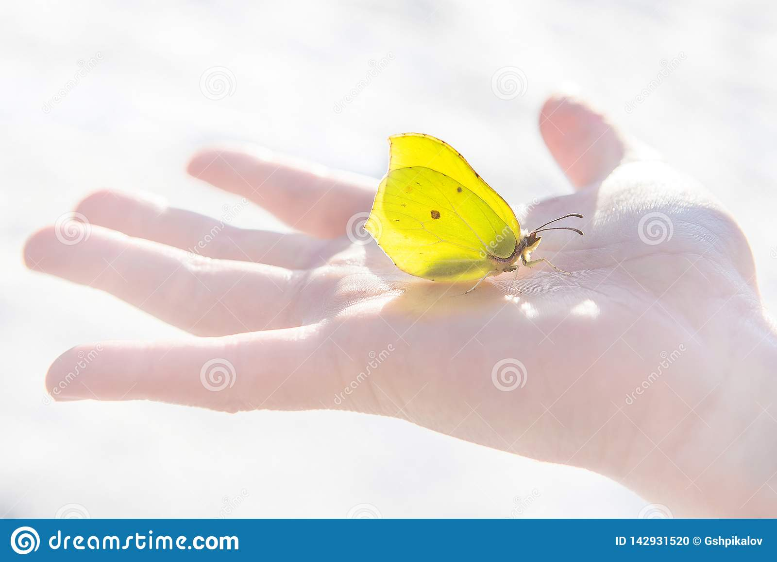 Gelber Schmetterling des ersten Frühlinges sitzt ruhig mitten in der Palme eines offenes Kindes