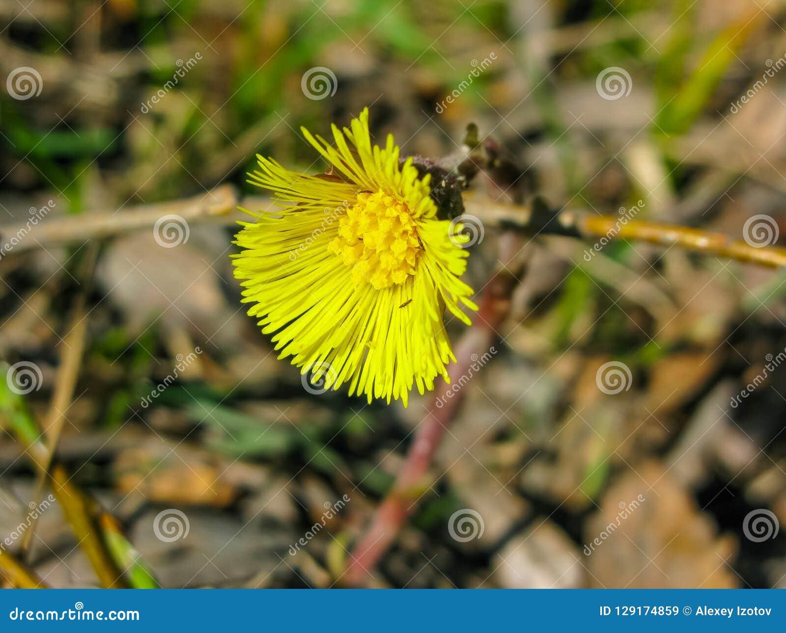 Gelber Wald der Gänseblümchenblume im Frühjahr