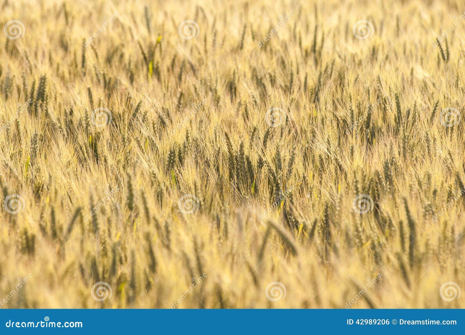 Gelber Weizen auf einem Kornfeld im Sommer