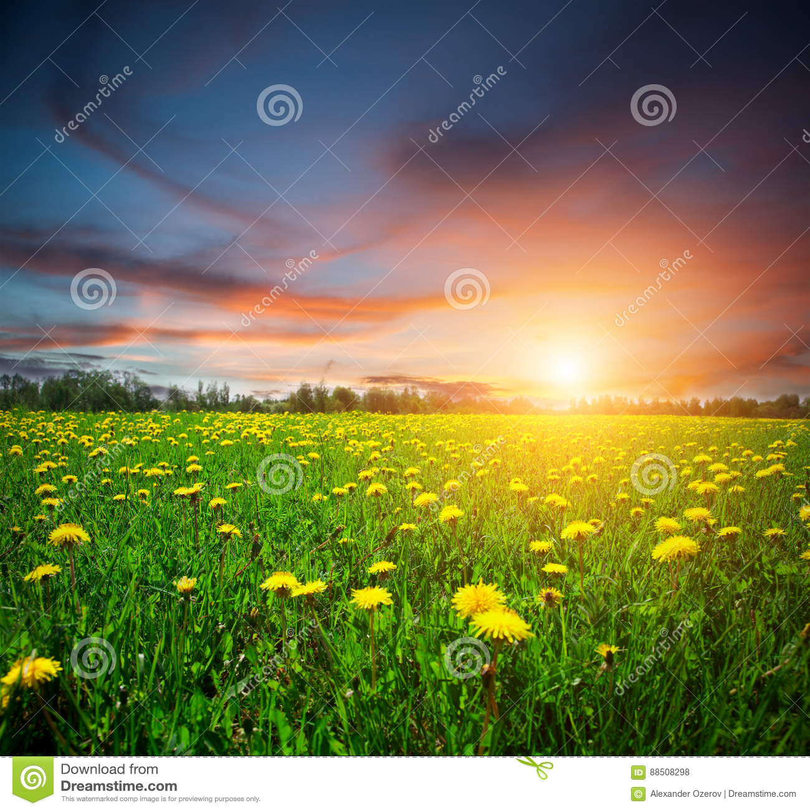 Gelbes Blumenfeld und -sonnenuntergang