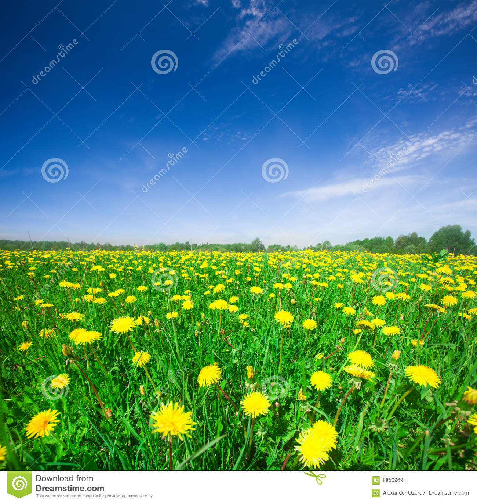 Gelbes Blumenfeld unter blauem bewölktem Himmel