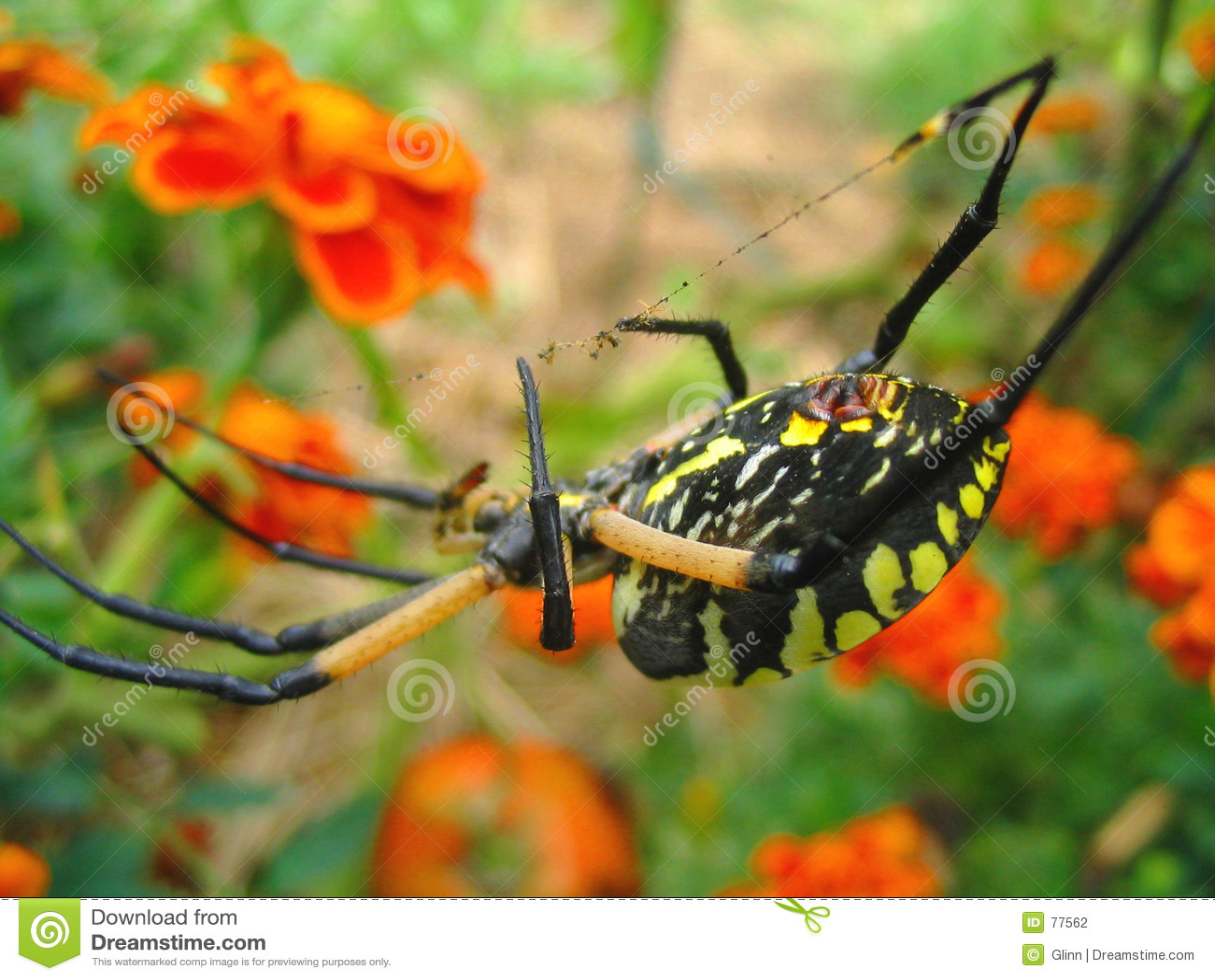 Gelbes Garten-Spinnen-Makro