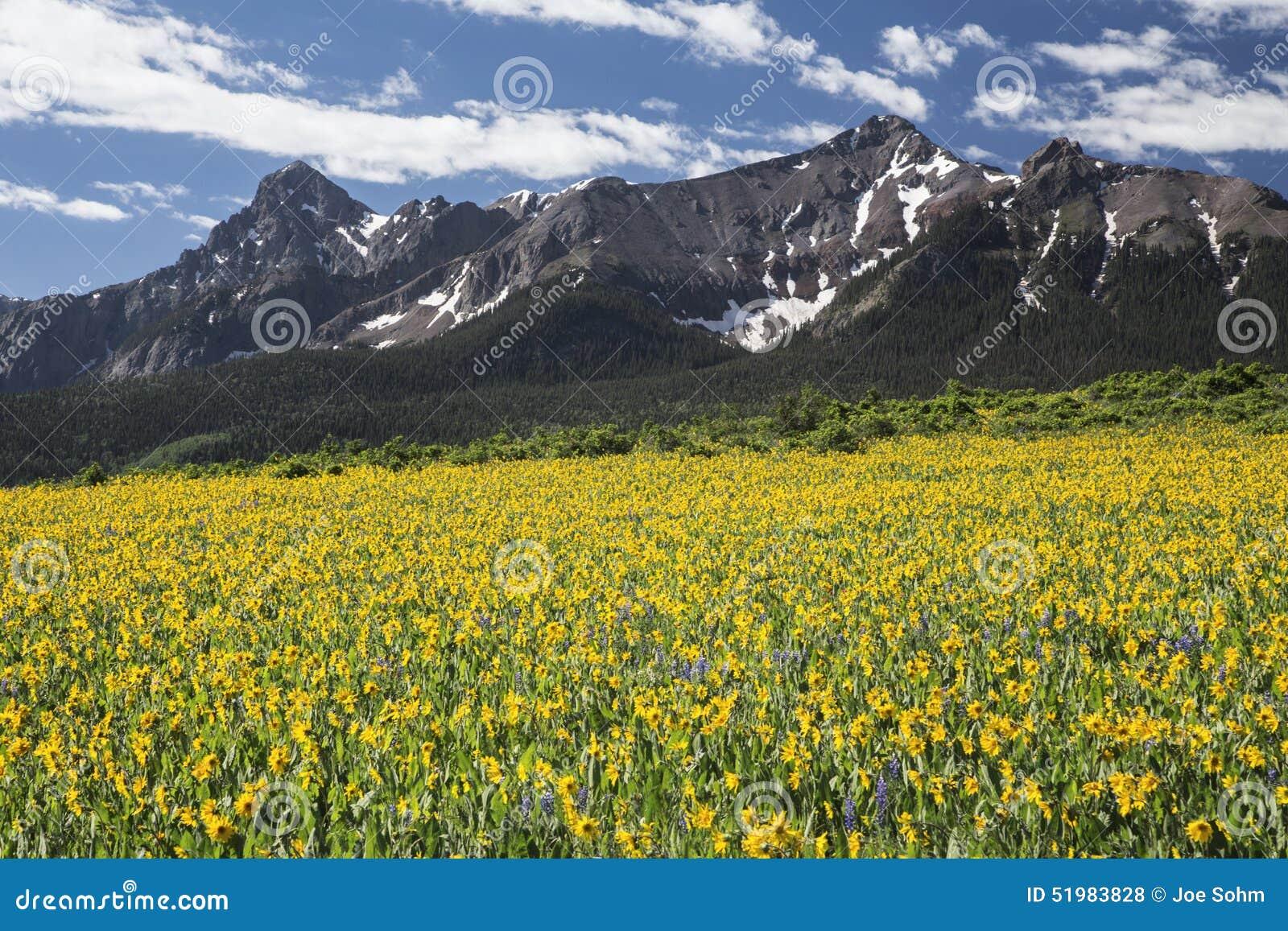 Gelbes Maultierohrfeld und San Juan Mountains, Hastings MESA, nahe letzter Dollar-Ranch, Ridgway, Colorado, USA