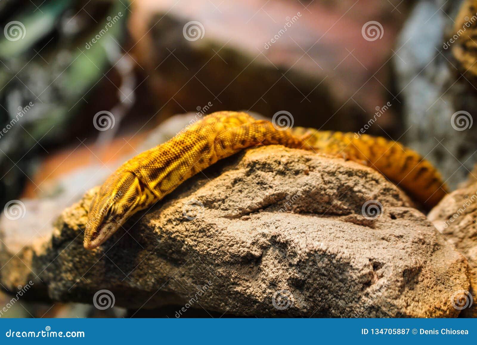 Gelbes Reptil, das auf einem Felsen stillsteht
