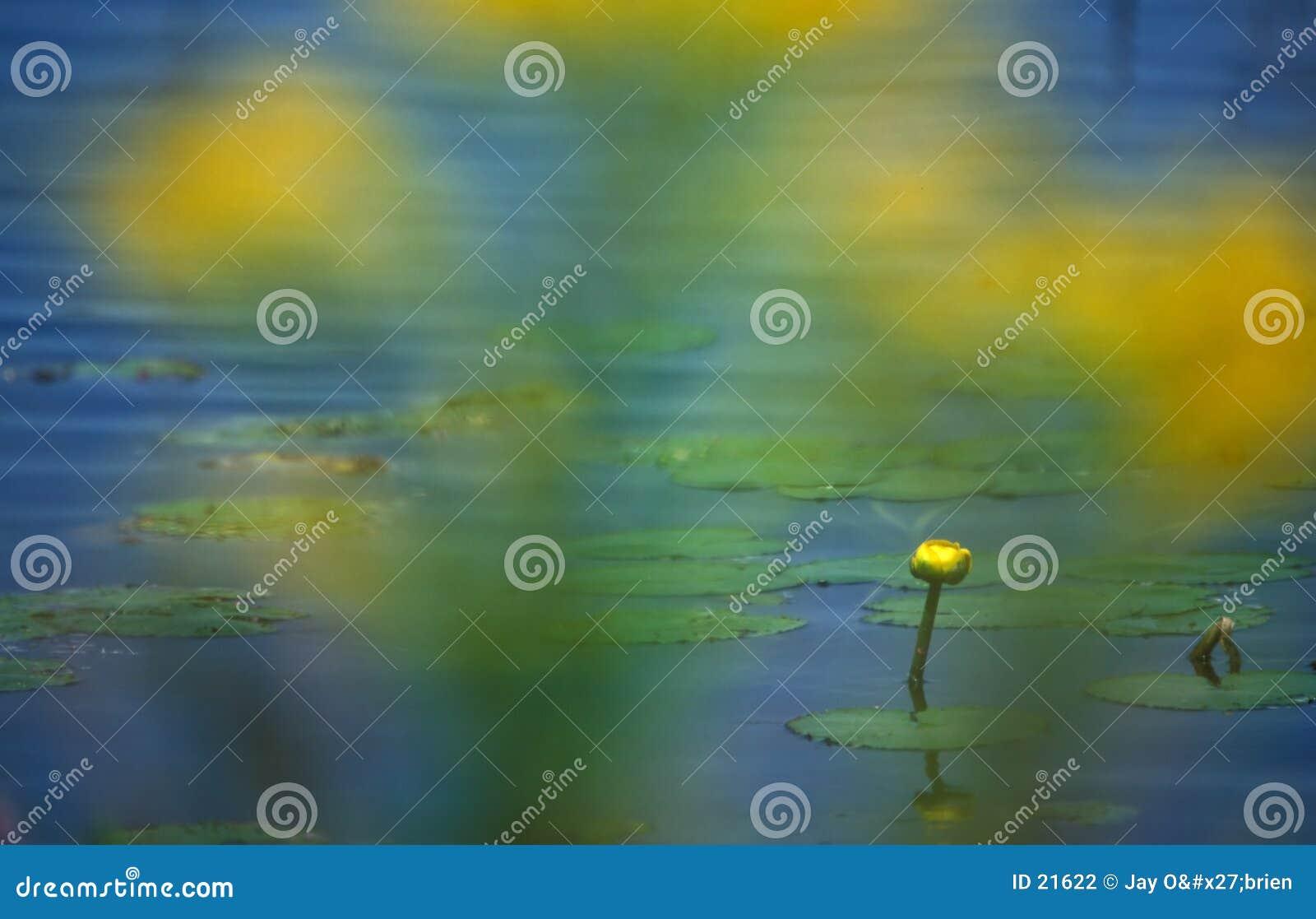Gelbes Wasser lilly