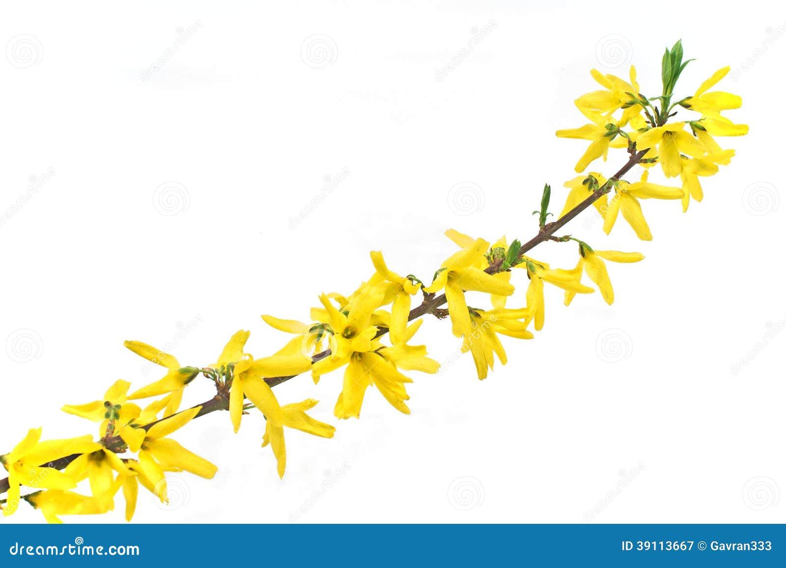 Gele bloei brench van rododendron