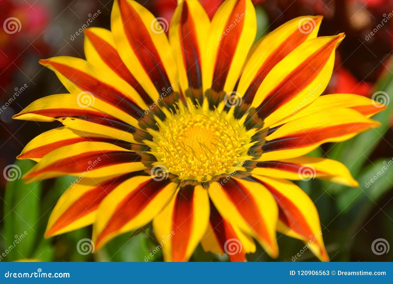 Gele bloem, aard, zonnebloem, tuin, de zomer, oranje installatie, groen, bloemen, madeliefje, macro, geweven ontwerp, illustratie