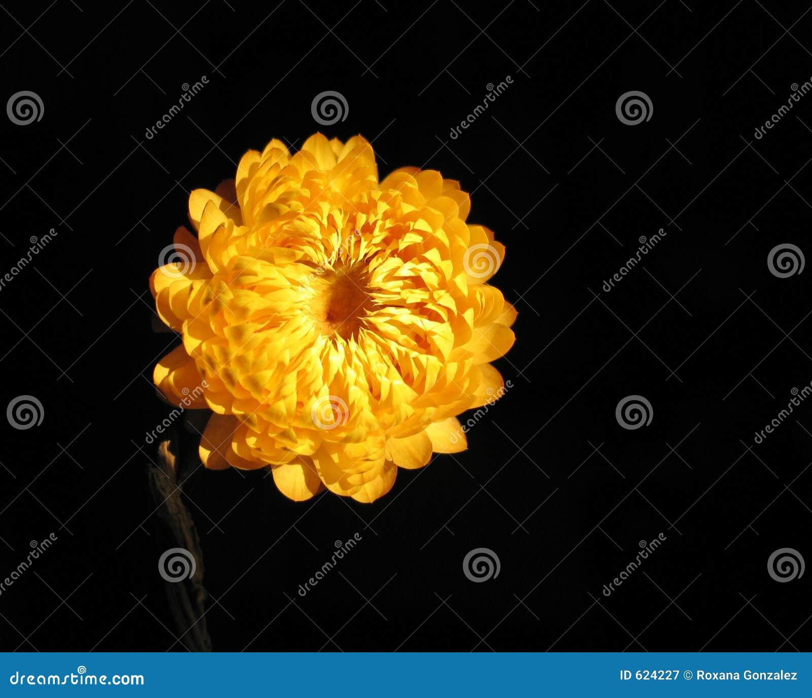 Gele bloem in dark