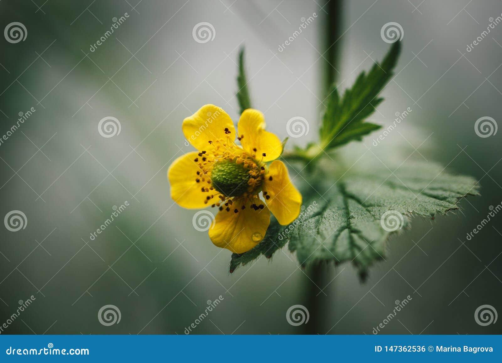 Gele Bloem op groene vage achtergrond Cinquefoil of potentilla Zijaanzicht, close-upmacro Wilde bloem in de weide
