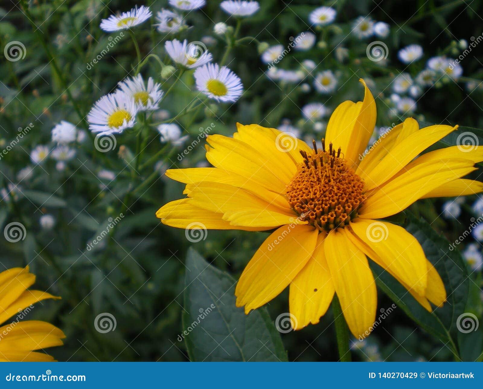 Gele bloem van heliopsis