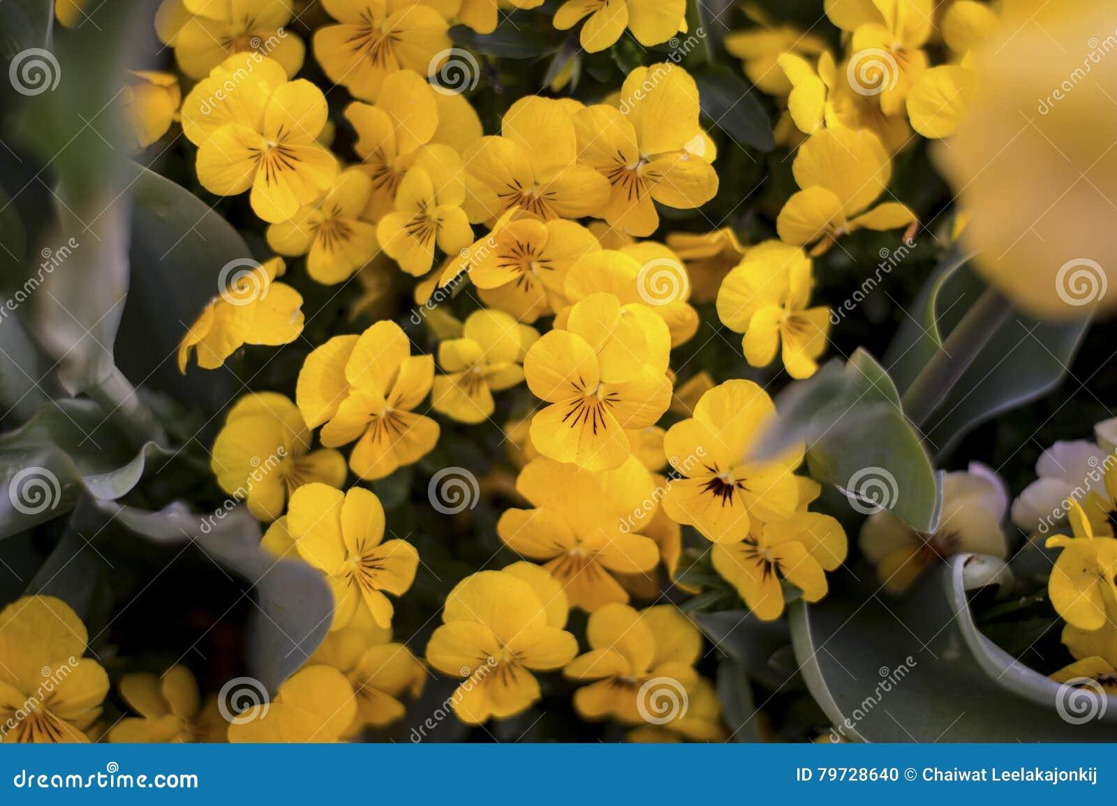 Gele bloembloesem