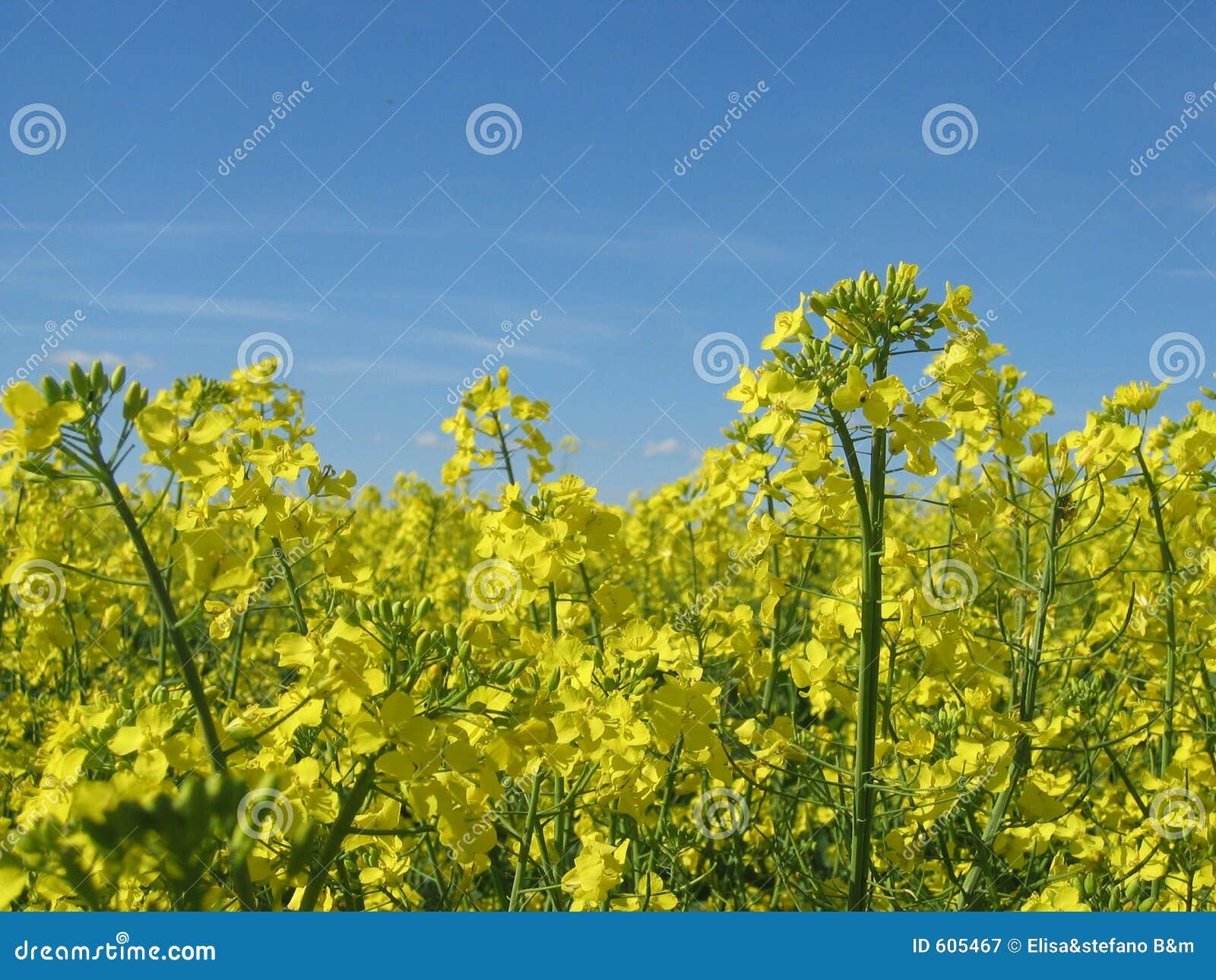 Gele bloemen en blauwe hemel