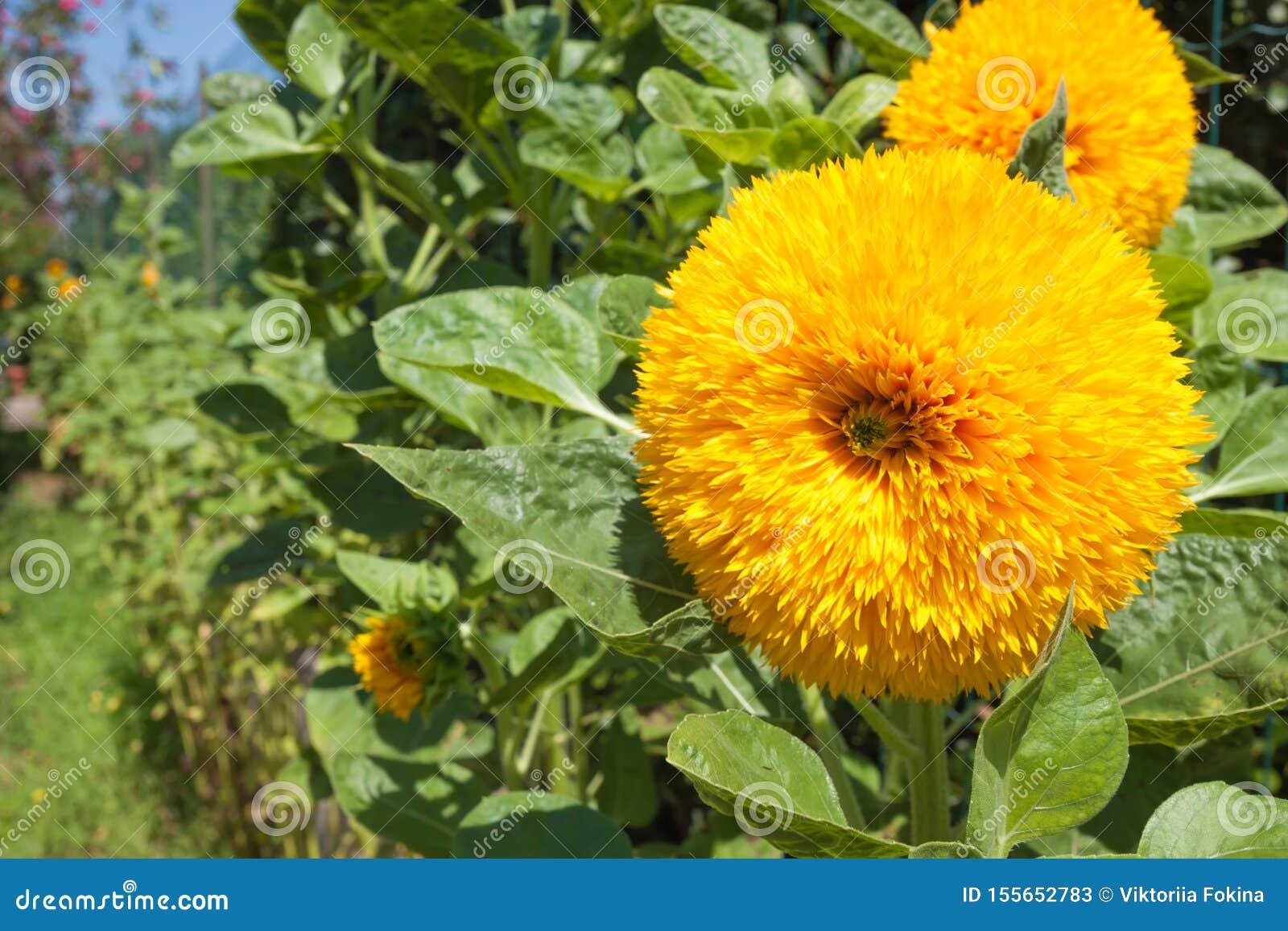 Gele bloemen met groene bladeren, close-up