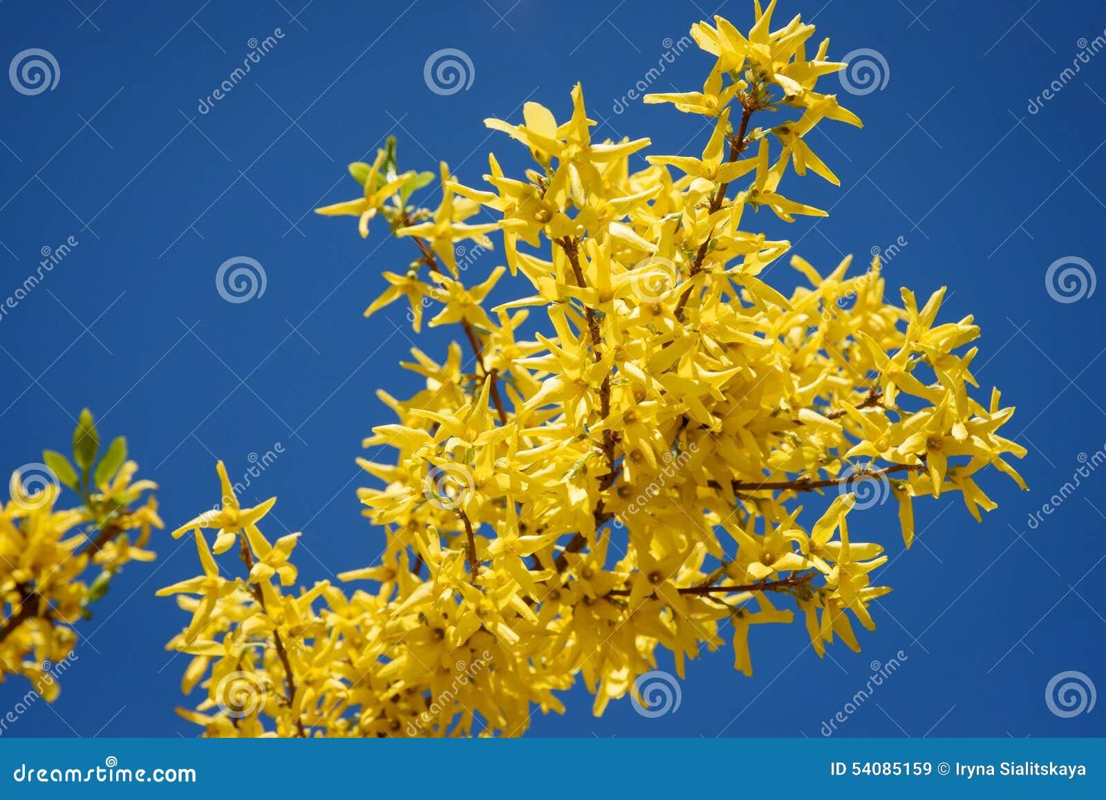 Gele bloemen van forsythia tegen de blauwe hemel