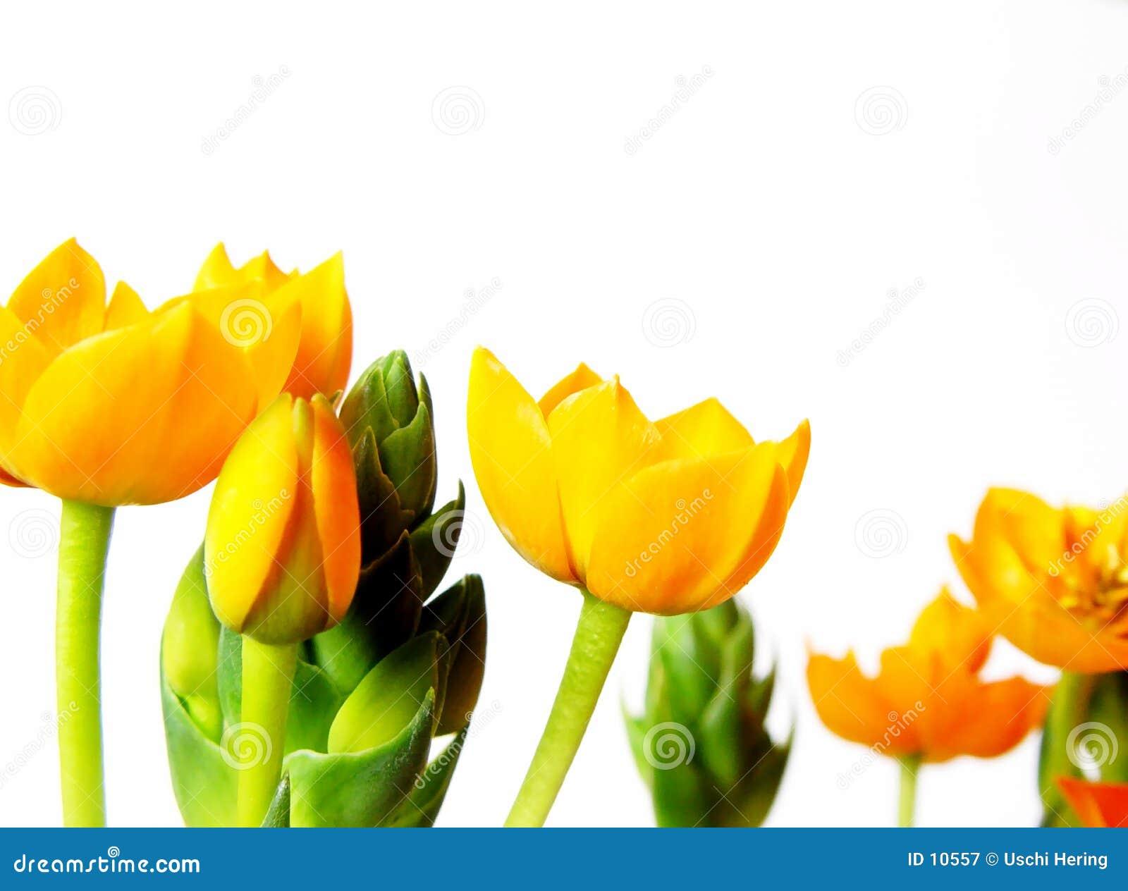 Gele bloesems
