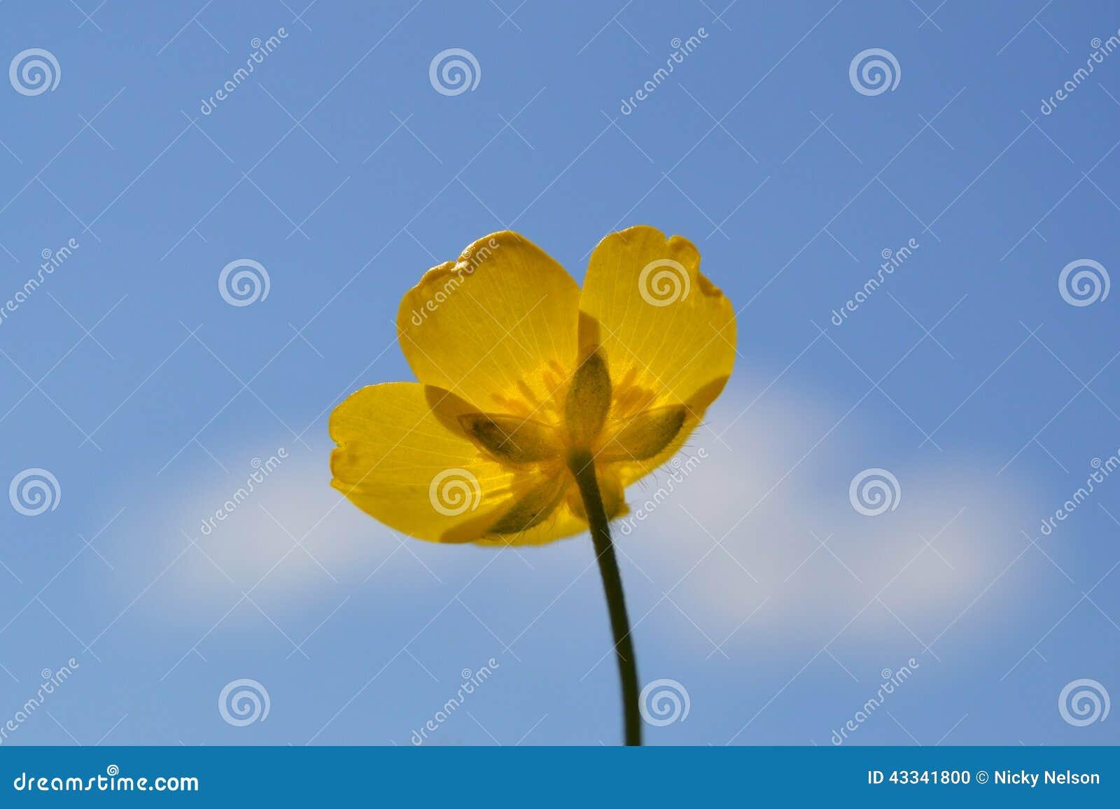 Gele Boterbloem tegen blauwe hemel