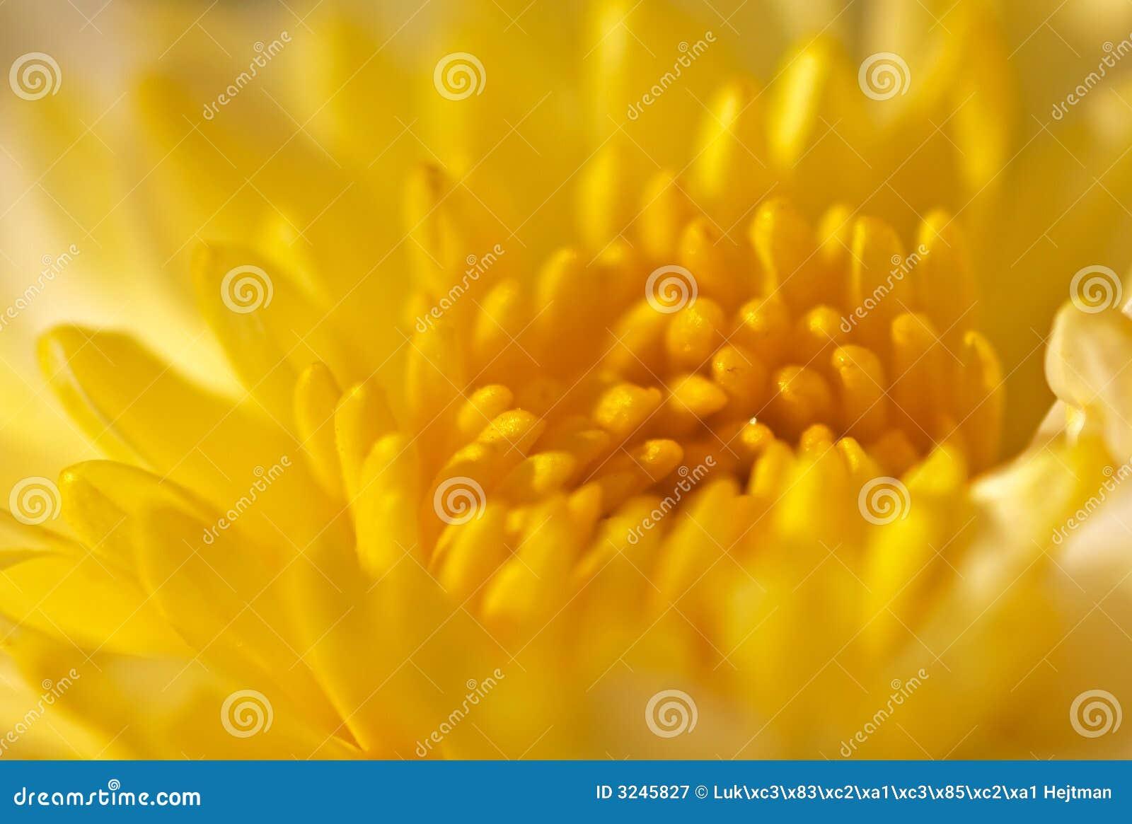 Gele chrysant