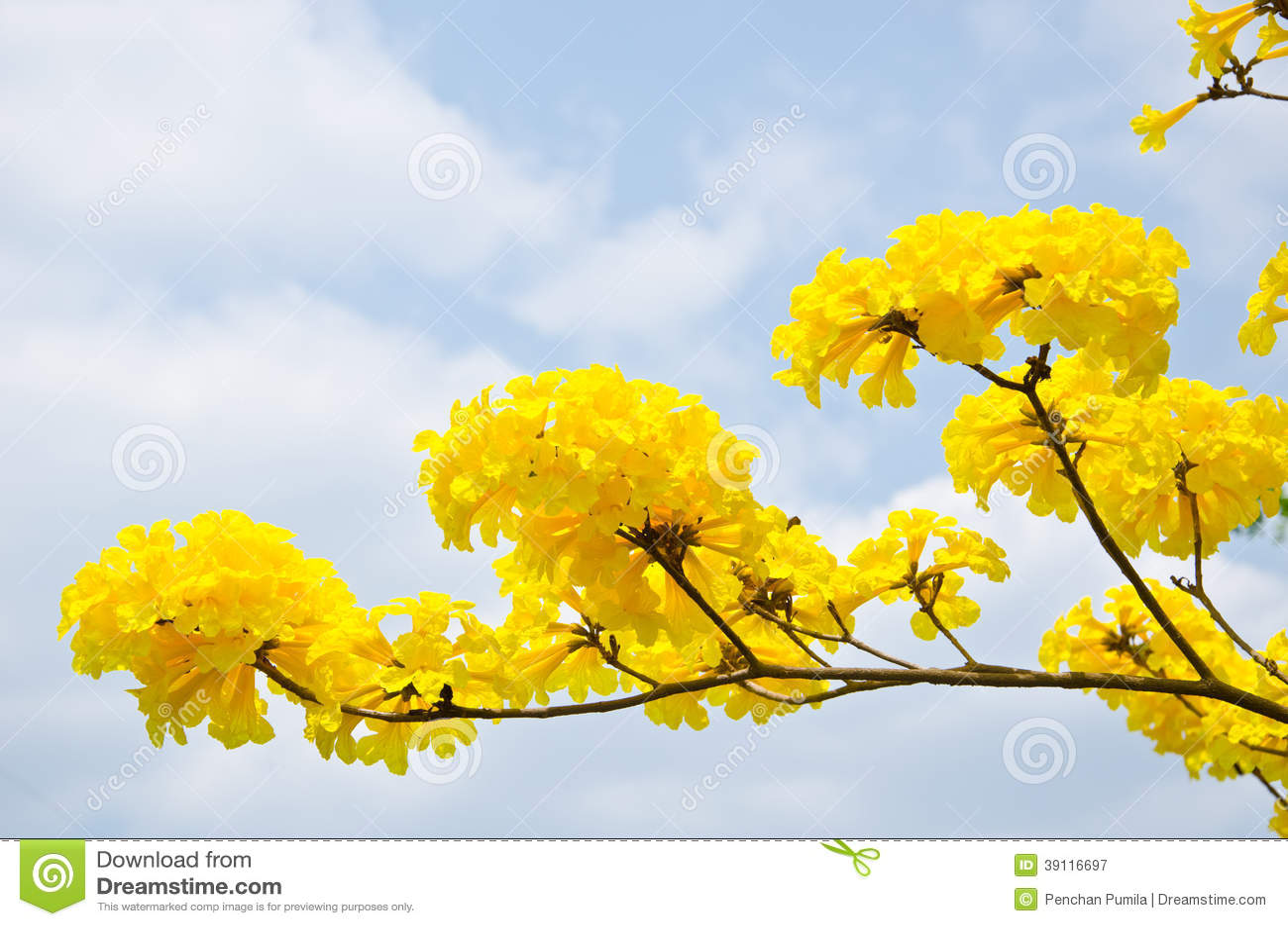 Gele de bloemenbloesem van Tabebuiachrysotricha