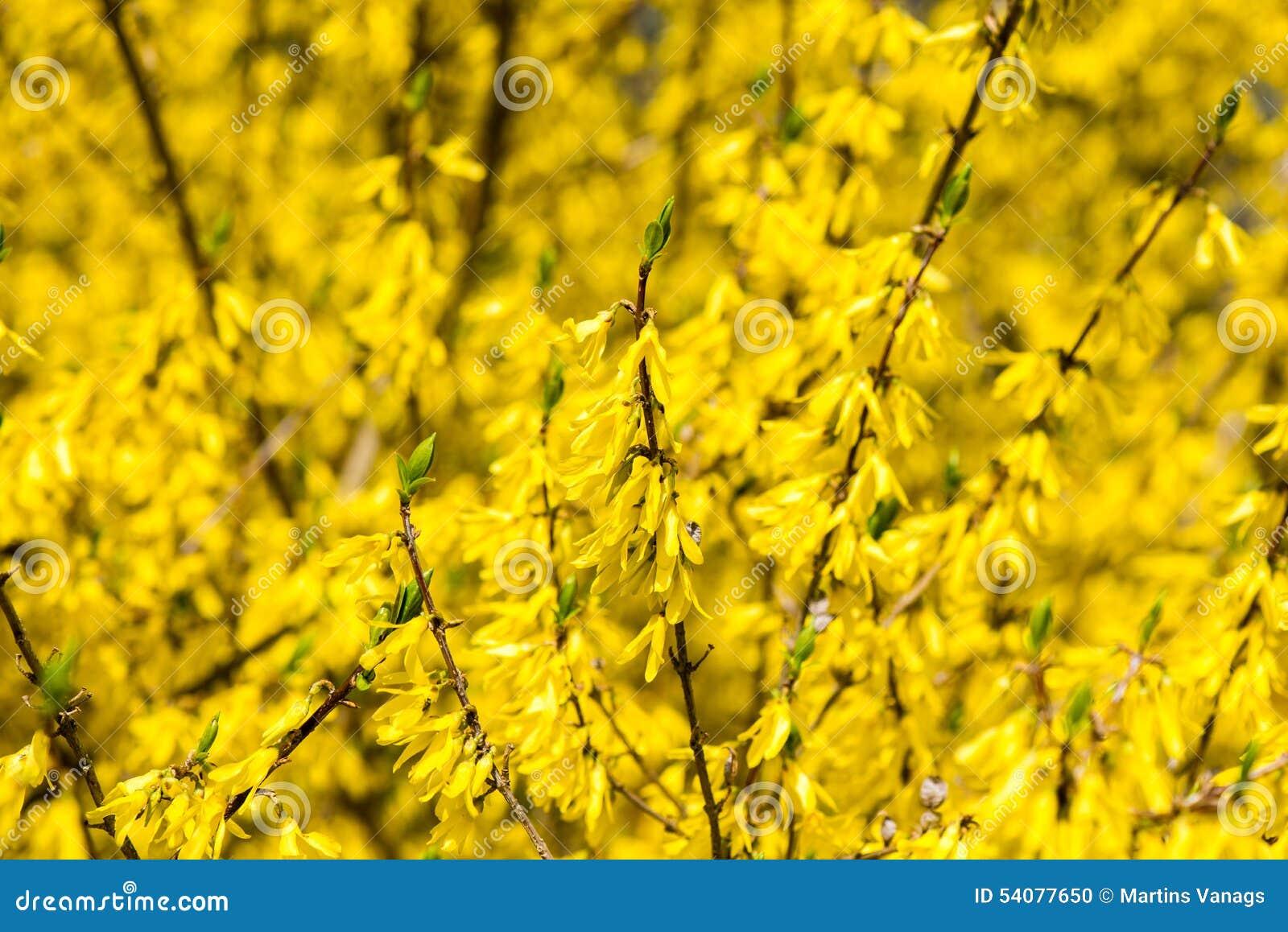 Gele de lentebloemen op groen