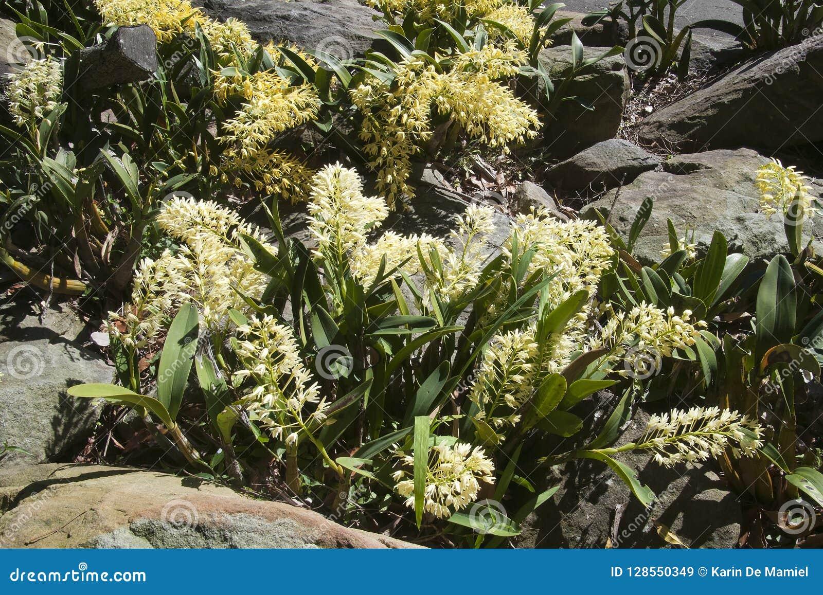 Gele de rotsorchideeën die van Sydney amid zandsteenrotsen groeien