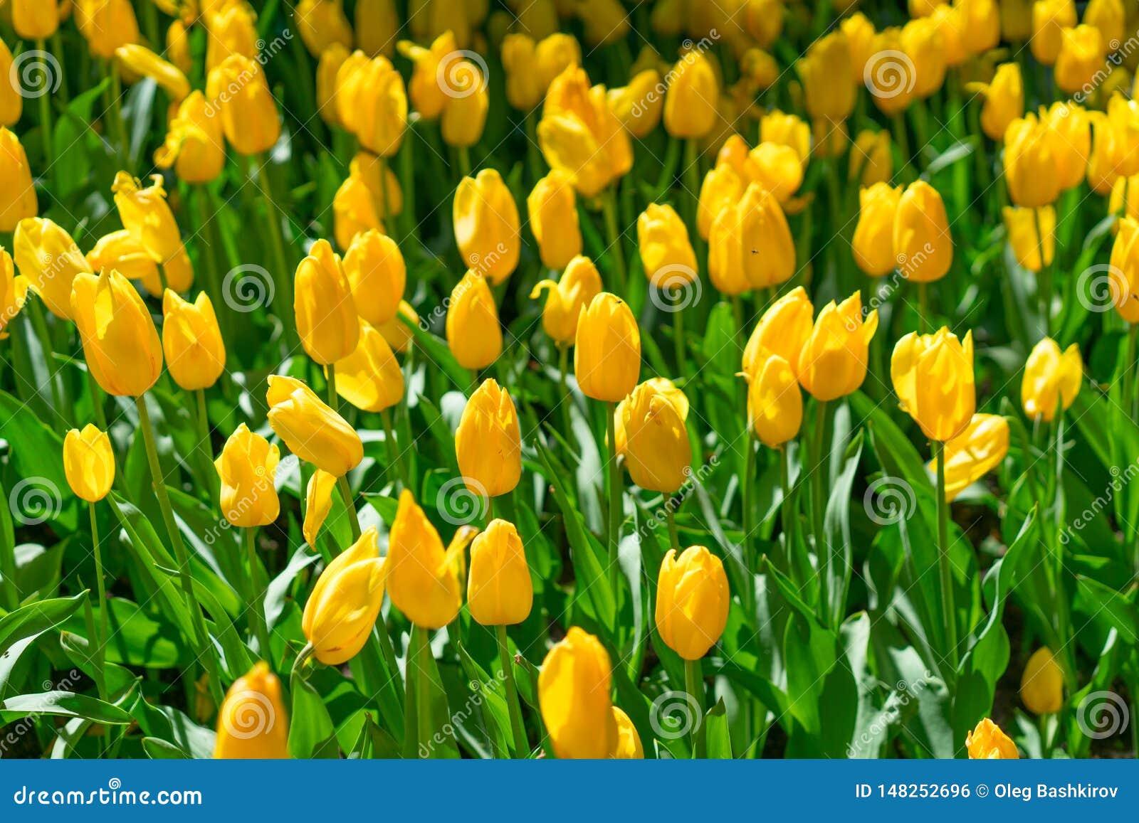 Gele die bloemtulp door zonlicht wordt aangestoken Zachte selectieve nadruk, tulpen dichte omhooggaand