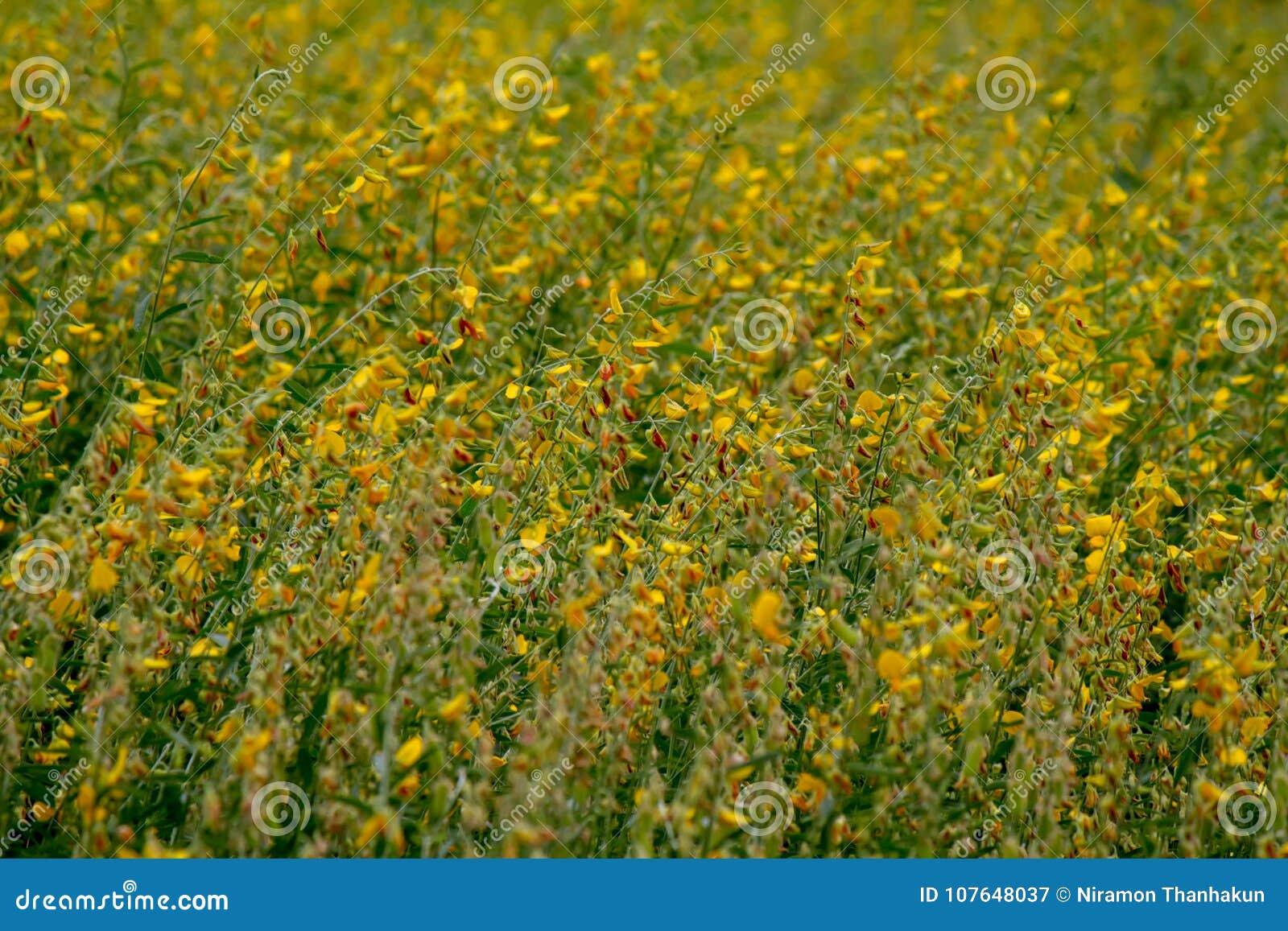 Gele en bruine bloem, CROTALARIA JUNCEA, SunHemp gebied