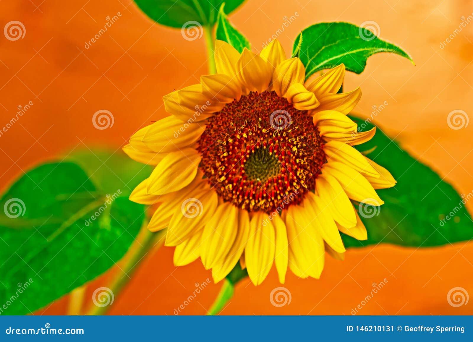 Gele en oranje zonnebloem