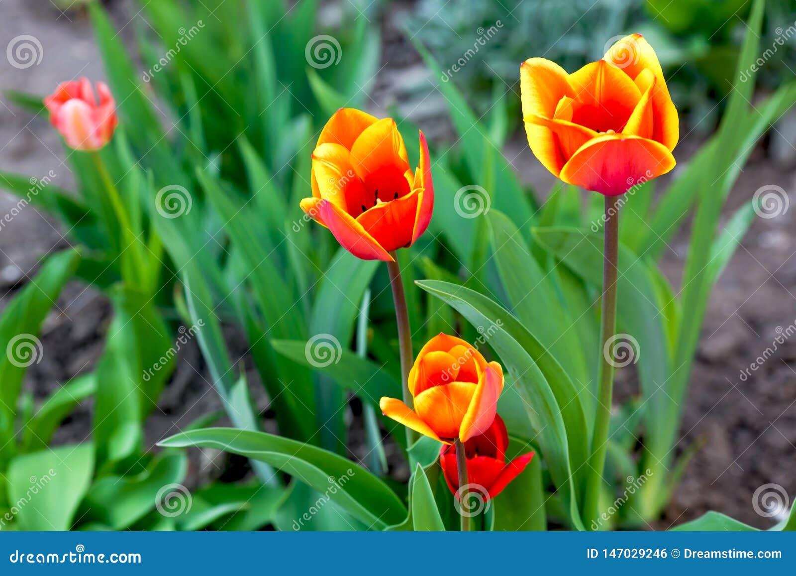 Gele en rode tulpen