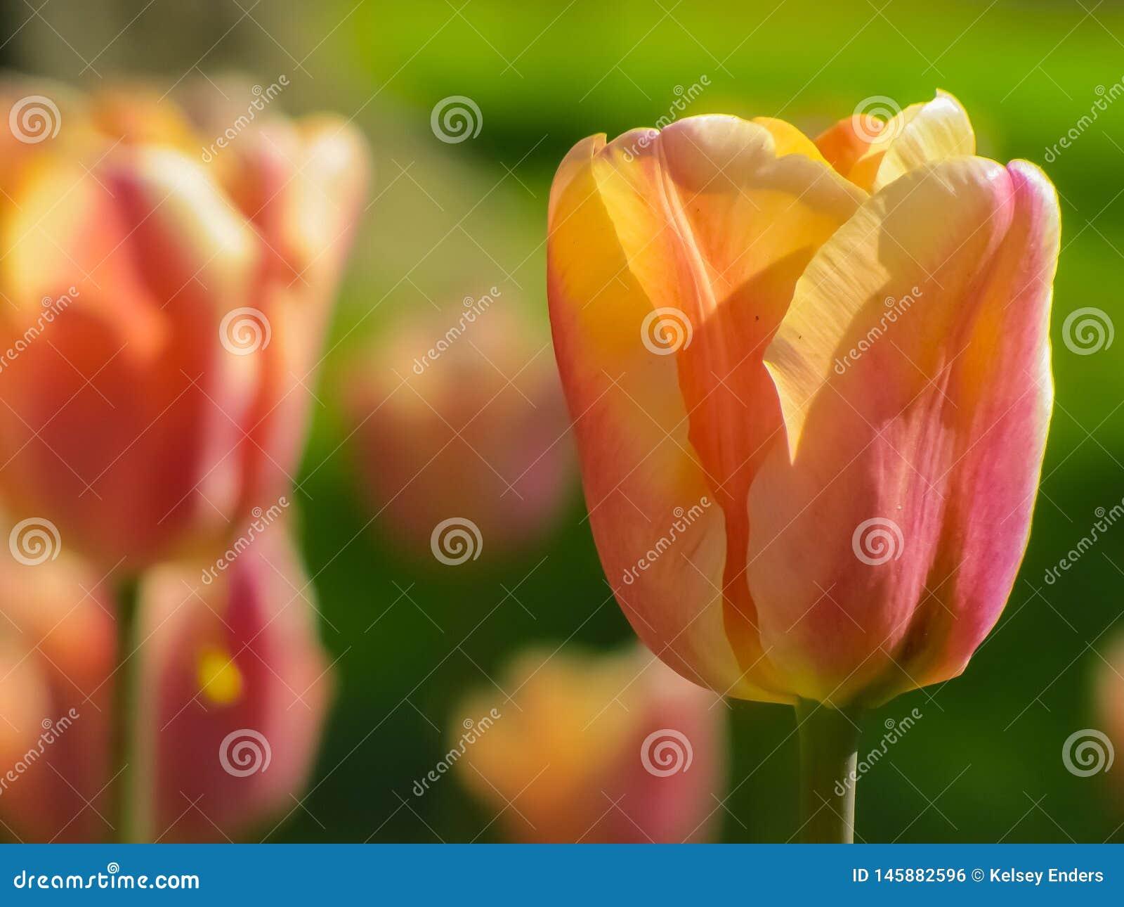 Gele en roze tulp