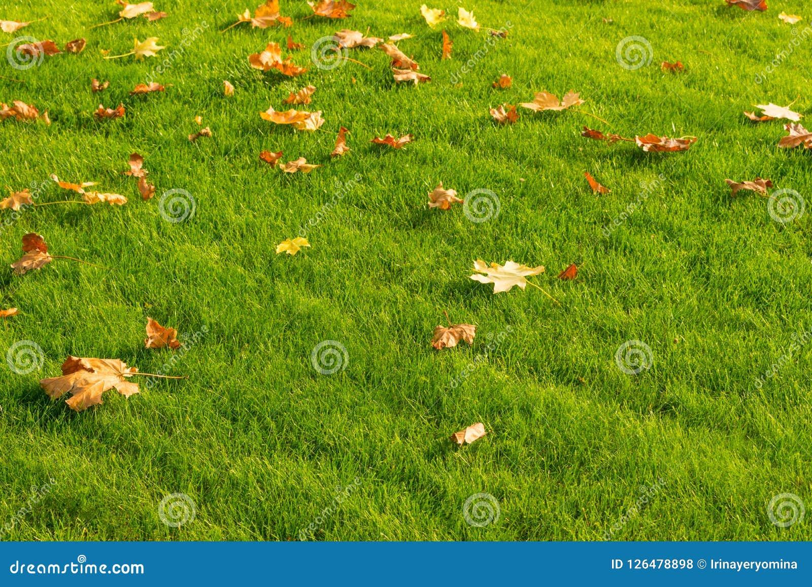 Gele en sinaasappel gevallen esdoornbladeren op een heldergroen gazon Au