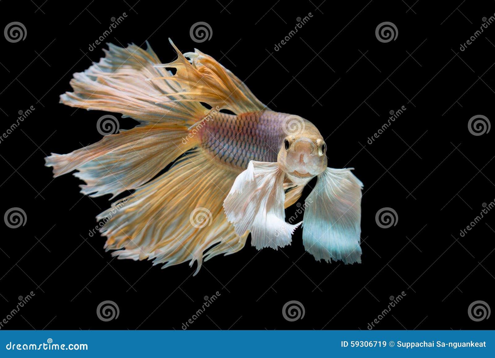 Gele en Witte die siamese het vechten vissen, bettavissen op zwarte worden geïsoleerd