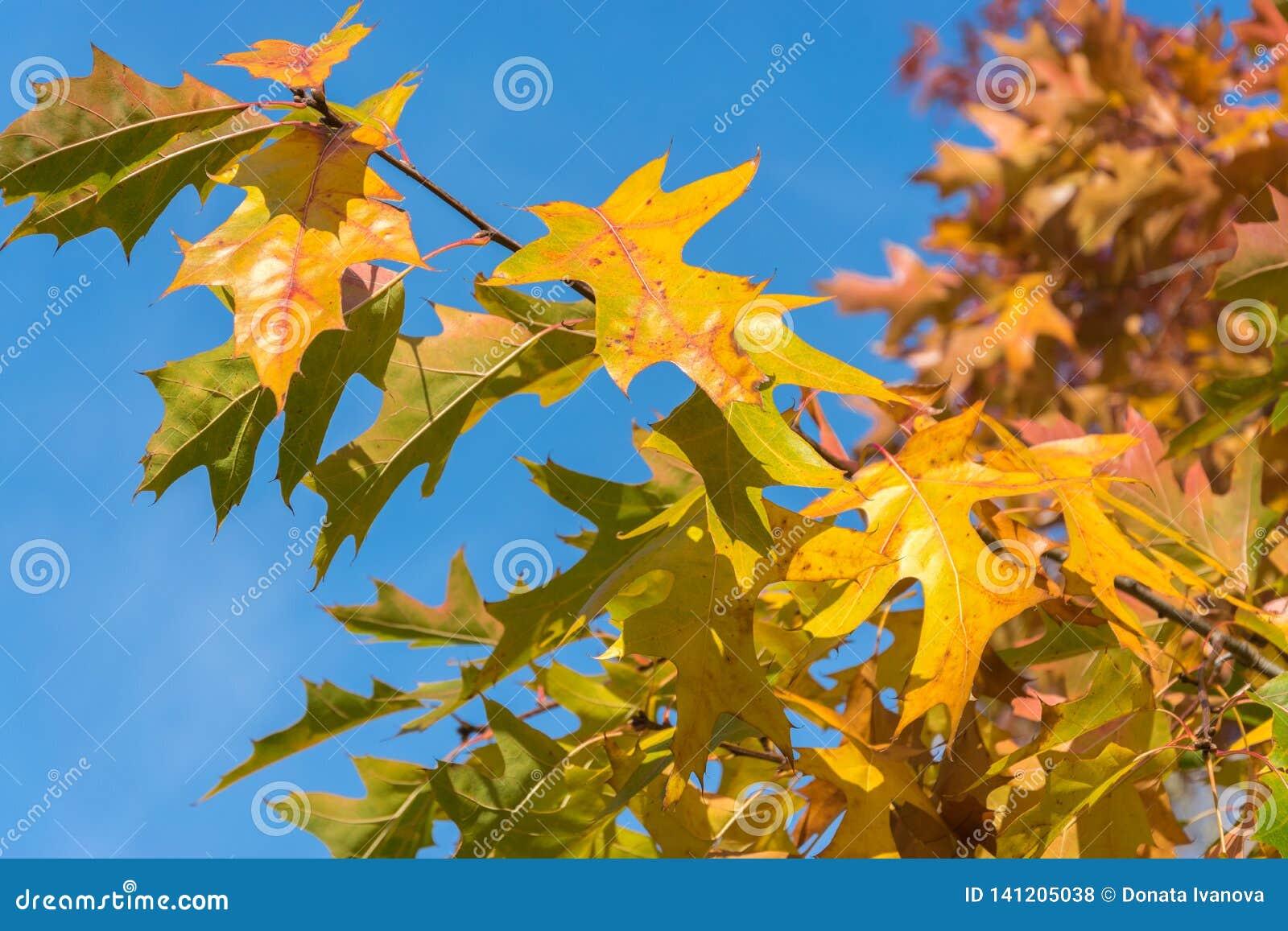 Gele esdoornbladeren tegen de achtergrond van heldere blauwe hemel Natuurlijk de herfstclose-up als achtergrond