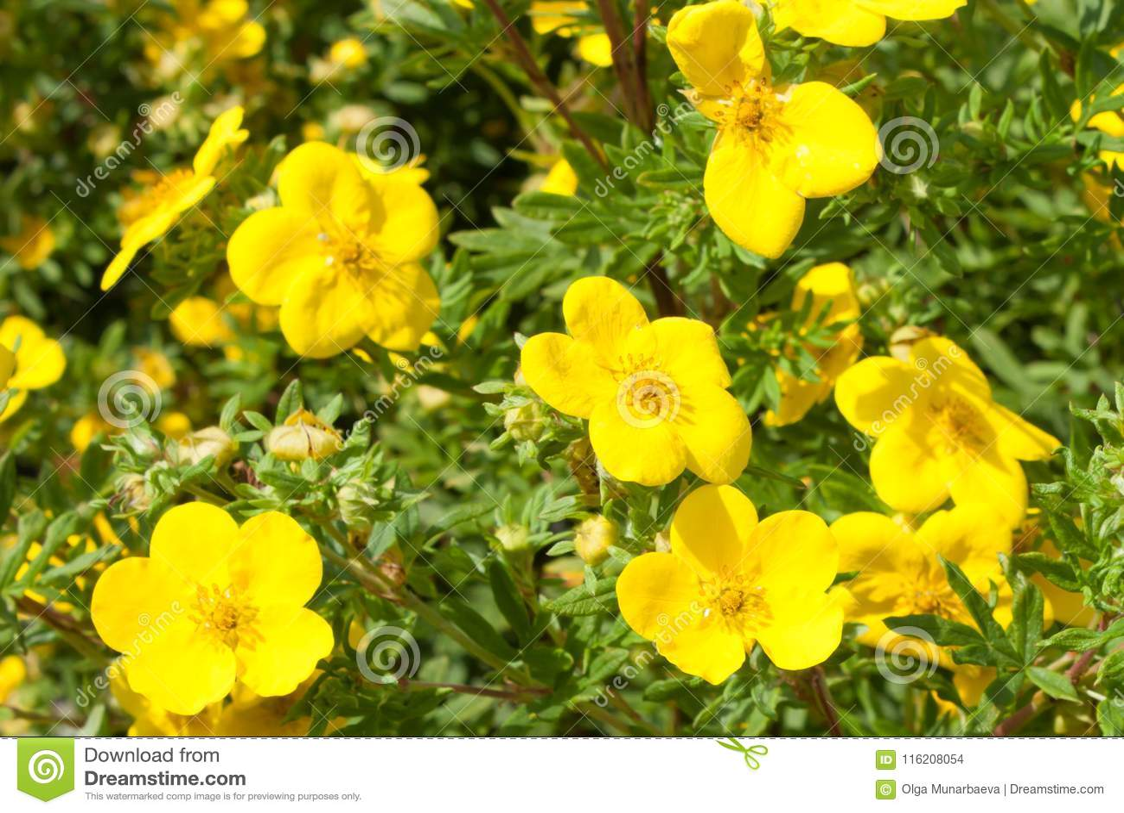 Gele fruticosa van bloemenpotentilla goldfinger in aard behang